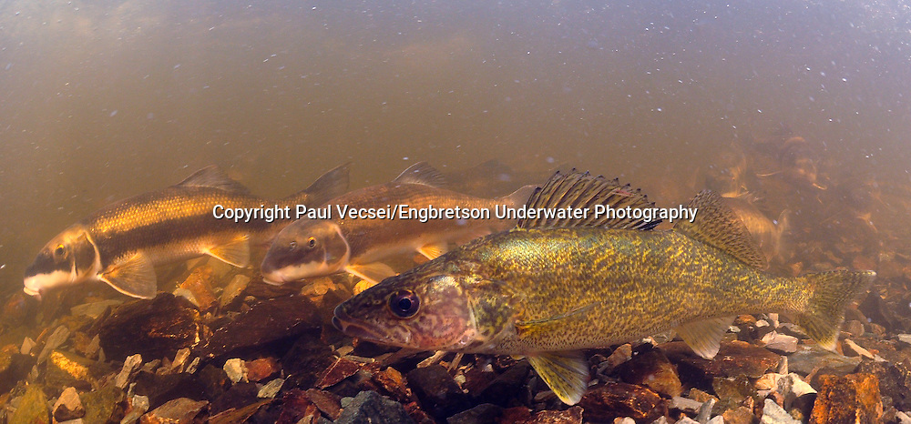 Walleye with White Suckers<br /> <br /> Paul Vecsei/Engbretson Underwater Photography