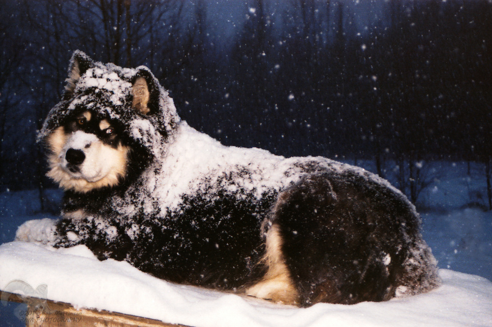 A Mackenzie River Husky and Siberian mix dog, named Popeye, rests peacefully on his doghouse during a winter snowfall.