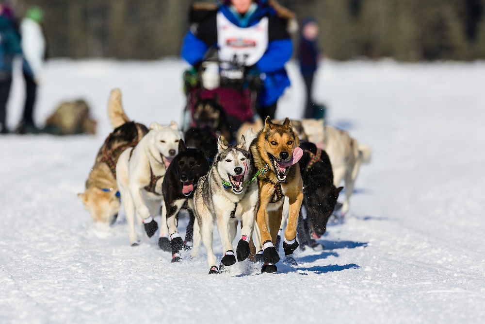 Musher Cindy Gallea competing in the 42nd Iditarod Trail Sled Dog Race on Long Lake after leaving the restart on Willow Lake in Southcentral Alaska.  Afternoon. Winter.