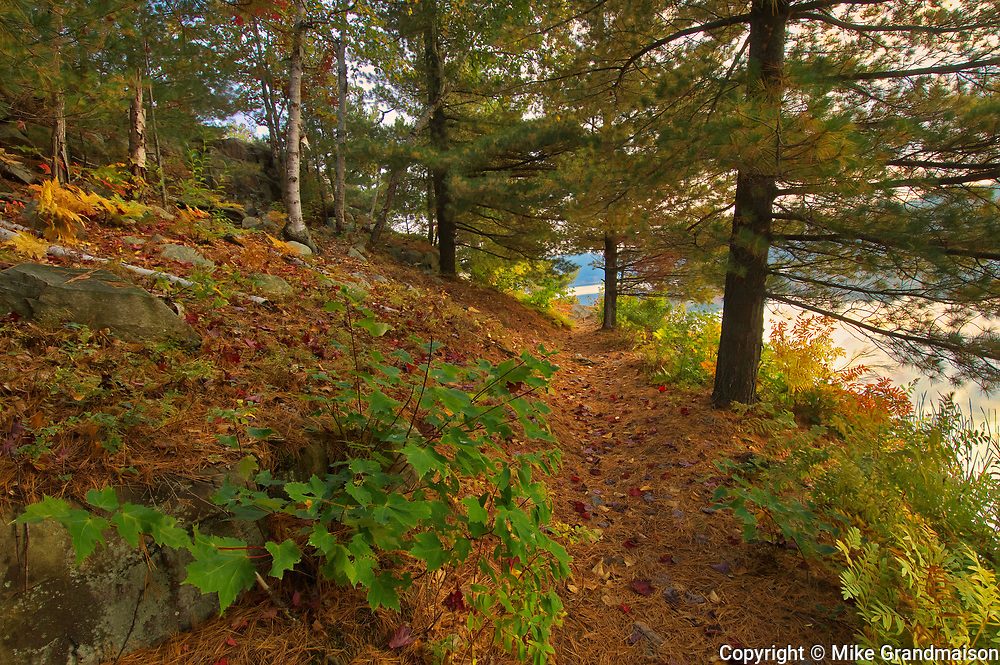 White pine trees on trail at George Lake<br />Killarney Provincial Park<br />Ontario<br />Canada