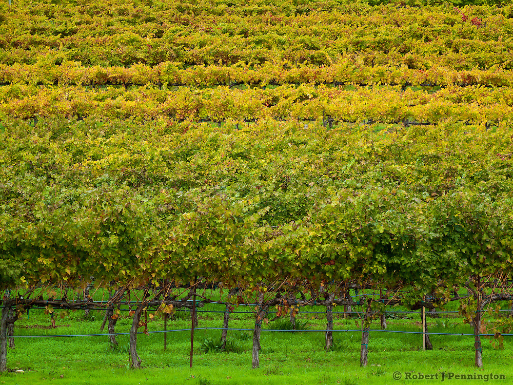 Vineyards and grapevines with fall colors in Northern California.