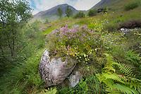 Scottish purple heather n Glen Nevis