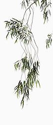 Eucalyptus camaldulensis #12a