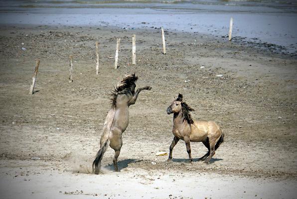 Nederland, Nijmegen, 2-8-2018Wilde paarden, koniks, lopen langs het water . Er wordt gestreden om het recht van leiderschap over de kudde. Een paard, hengst,  staat op zijn achterbenen en dreigt naar de ander .Foto: Flip Franssen