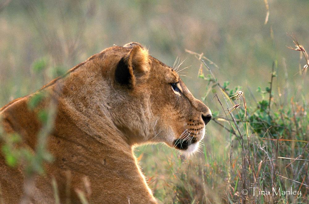 KENYA, AFRICA:  Female Lion, panthera leo, lying in grass, Nairobi National Park