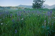Idaho, Bonner County, Priest Lake, Nordman. Wildflowers in Bismark Meadows with morning mist. Bismark Meadows is prime spring habitat for the Selkirk Grizzly bear population. . PLEASE CONTACT US FOR DIGITAL DOWNLOAD AND PRICING.