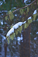 close up of snow covered evergreen tree