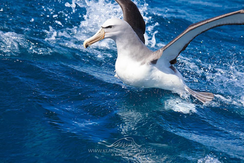 Salvin's Albatross, New Zealand