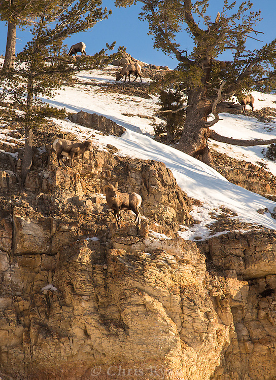 Bighorn sheep on rocky cliffs, Yellowstone National Park