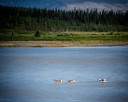 And We Even Saw a Family of Caribou Crossing the River