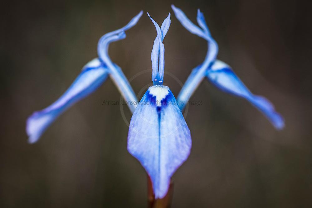 Morea Tripetala flower, Heuningberg Nature Reserve, Bredasdorp, Western Cape, South Africa