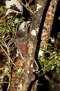 At night, a Kaka parrot peels off layers of bark to check for insects, Stewart Island