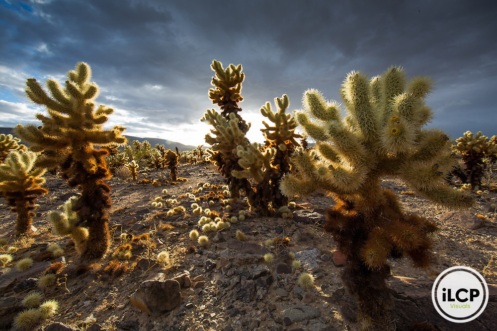Joshua Tree National Park's Cholla Cactus Garden.