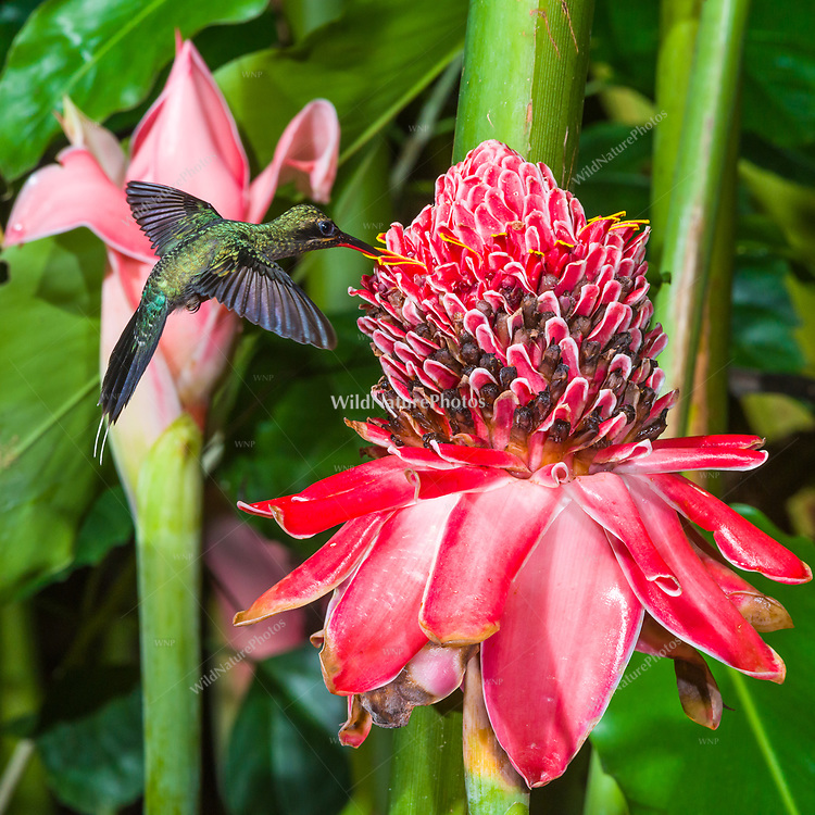 Green Hermit (Phaethornis guy) in flight, feeding on Torch Ginger (Etlingera elatior). Trinidad