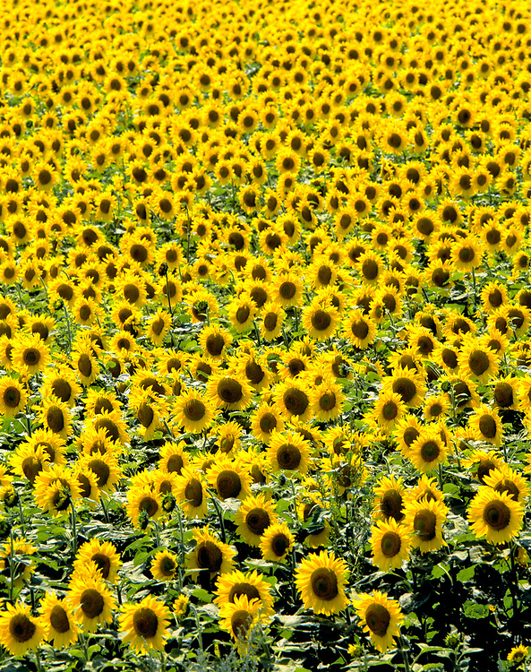 The sheer number of sunflowers in this field make the overall composition nearly abstract, in Cass County, North Dakota.