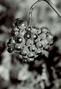 the last grapes on the vine,blalck and white verticle
