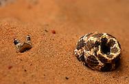 Schweiz: Schlange, Hakennatter (Heteroden Spec.) versteckt im Sand, die Gründe dafür sind Wärmeregulierung und Tarnung, es handelt sich um einen harmlose Art, die sich eingräbt | Switzerland: Snake, Hog-nosed snake (Heterodon spec.) hidden in sand, the reasons for this are thermoregulation and camouflage, it is a digging species and harmless |