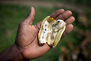 A wild banana, containing seeds, pictured at Kilometer 17, Yangambi, DR Congo, on Saturday, Dec. 6, 2008. Wild bananas are used in the breeding of new banana types but the process is long and difficult.