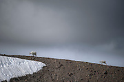 Two mountain goats walking on a ridgeline, Northern Montana