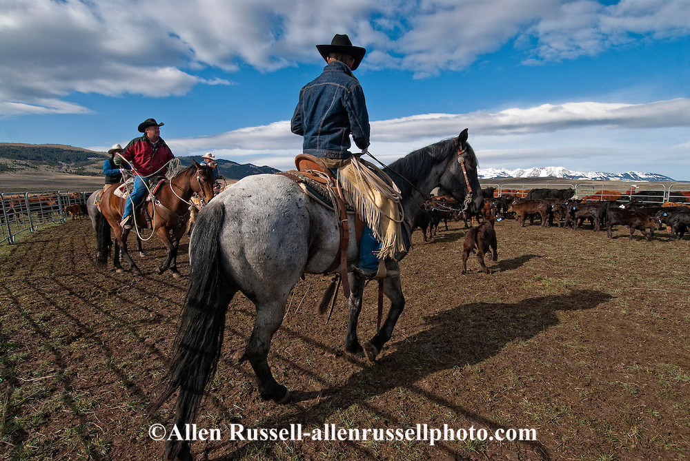 Cowboys branding cattle, Wilsall, Montana, MODEL RELEASED, PROPERTY RELEASED