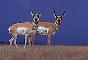 Female (left) and male pronghorn (Antilocapra americana) with storm clouds. Hart Mountain National Wildlife Refuge, Oregon.