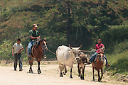 A man and two boys lead cattle along a dirt road in El Carbon, Honduras on Thursday April 25, 2013.