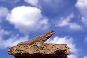 Rock Agama (Laudakia stellio), basking in the sun on a rock, Israel