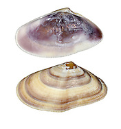 banded wedge shell<br /> donax vittatus