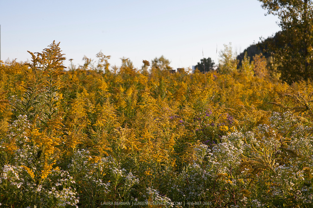 North American native wildflower meadow filled with late summer perennials Goldenrod and asters.