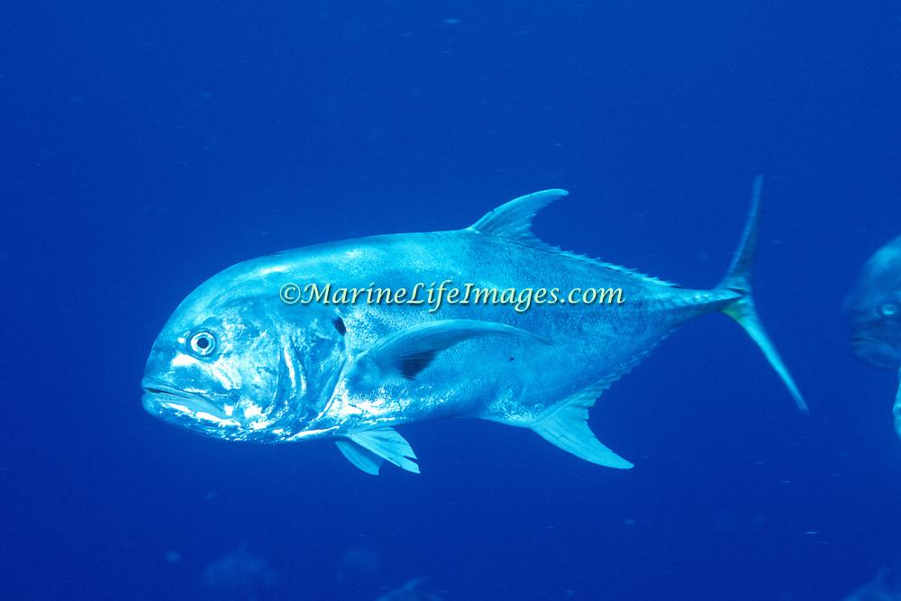 Crevalle Jack inhabit open water in Tropical West Atlantic; picture taken Grand Cayman.