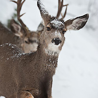 trophy muledeer buck pursues  pursue doe snow during rut