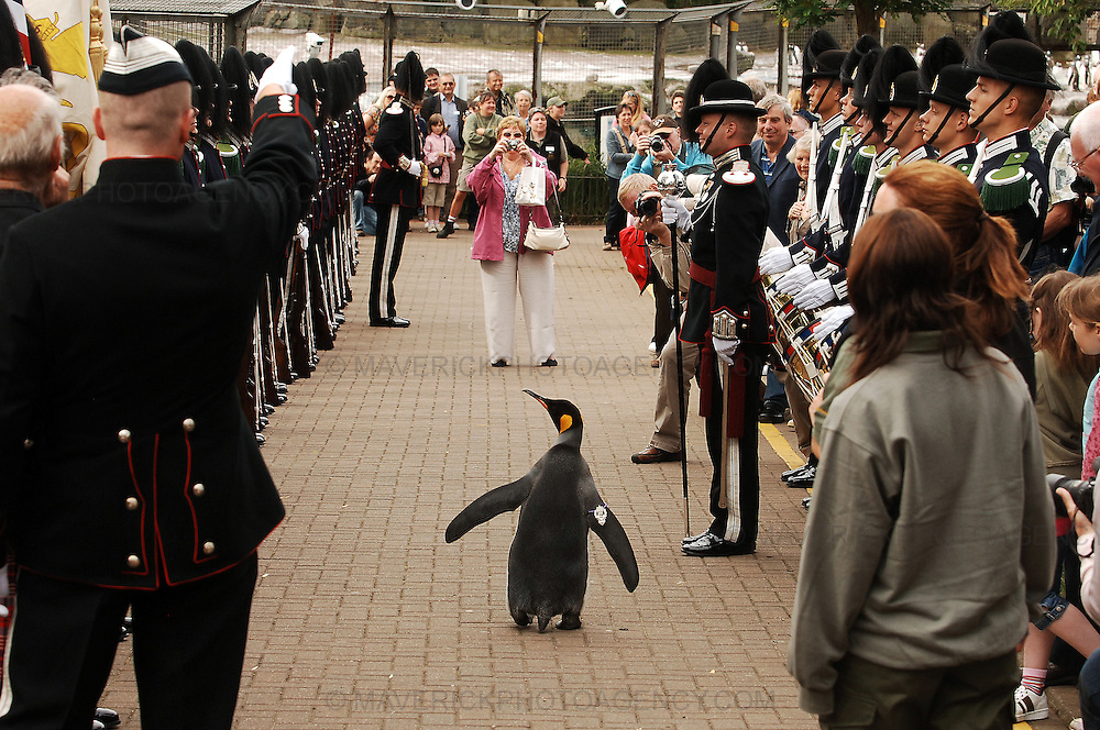 'Nils Olav' the penguin receives his knighthood from the Nowegian King's Guard at the Edinburgh zoo, on August 15, 2008. A penguin called Nils waddled into the history books Friday when he was knighted by a visiting royal Norwegian regiment in Scotland. The king penguin became the first black-and-white pint-sized Norwegian Sir with wings after inspecting the Norwegian King's Guard, over for Edinburgh's annual Military Tattoo.