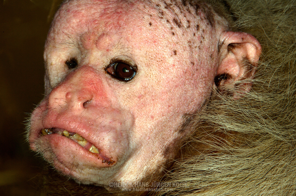Deu, Deutschland: Weisser Uakari (Cacajao melanocephalus), Portraet, close-up, Zoo Koeln, Nordrhein-Westfalen | DEU, Germany: Black-headed Uakari (Cacajao melanocephalus), portrait, close-up, Zoo Cologne, North Rhine-Westphalia