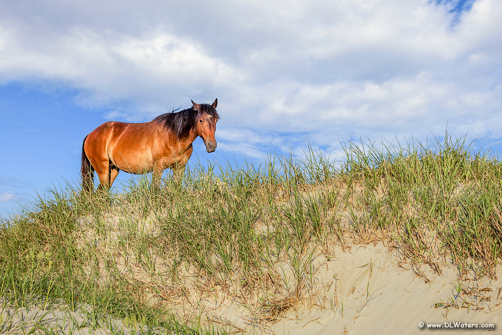 Wild horse on top of a sand dune on the Outer Banks in Crova, NC.