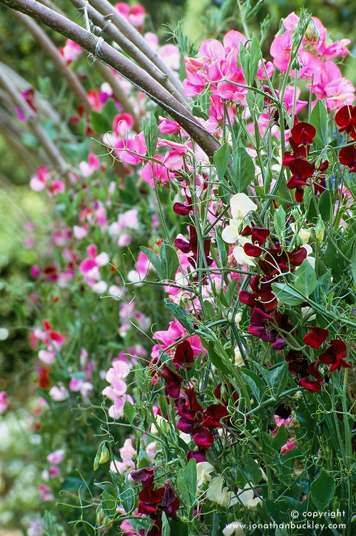 The sweet pea tunnel. Lathyrus odoratus