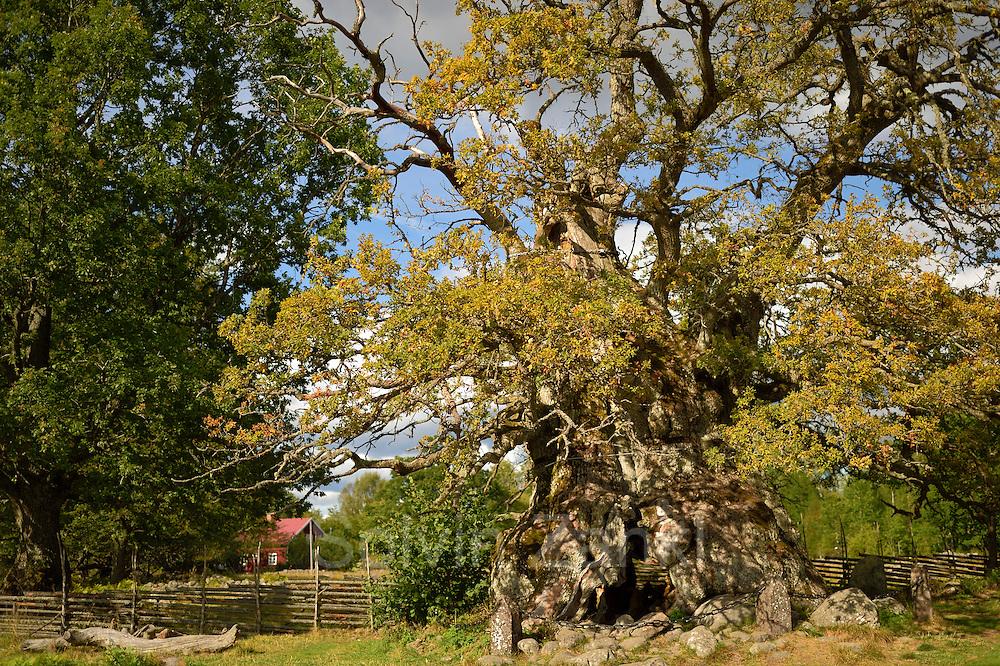 Rumskulla Eiche oder KVILLEKEN EICHE in Schweden gilt mit einem Stammumfang von 14,75 Metern als dickste Eiche Europas. Schweden