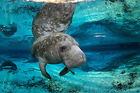 Florida manatee, Trichechus manatus latirostris, a subspecies of the West Indian manatee, endangered. Series of a female manatee relaxing from  a rightside up position to upside down swimming. A female floats rightside up near a warm blue springhead. She is reflected on the calm surface. Other manatee rest by the springs. An Atlantic needlefish, Strongylura marina, swims nearby. Tranquil and undisturbed natural behavior. Horizontal orientation with blue water, reflections and sun rays. Three Sisters Springs, Crystal River National Wildlife Refuge, Kings Bay, Crystal River, Citrus County, Florida USA.