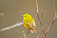 The Yellow Warbler likes to spend most of its time around rivers and creeks.