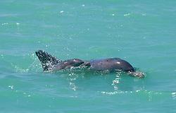 Bottlenose dolphins near Willie Creek.