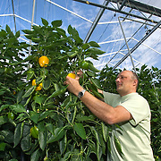 September 2009 20090901 ..Een arbeider immigrant plukt paprika's in kas.  .An immigrant worker  at work in greenhouse, immigration.        .                       .Foto: David Rozing