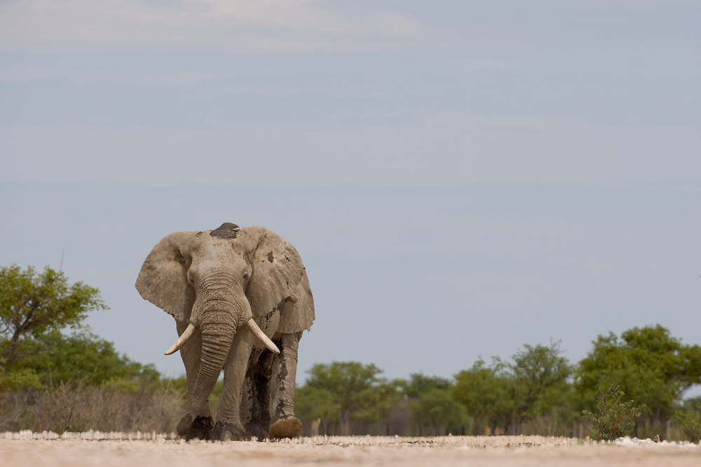Africa, Namibia, Etosha National Park, Elephants (Loxodonta africana) walking at edge of Etosha Pan