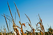 View of a tasseled corn field against a field and sky in Arkansas.