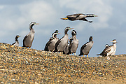 Spotted Shags at the beach, Riverton Rocks, New Zealand
