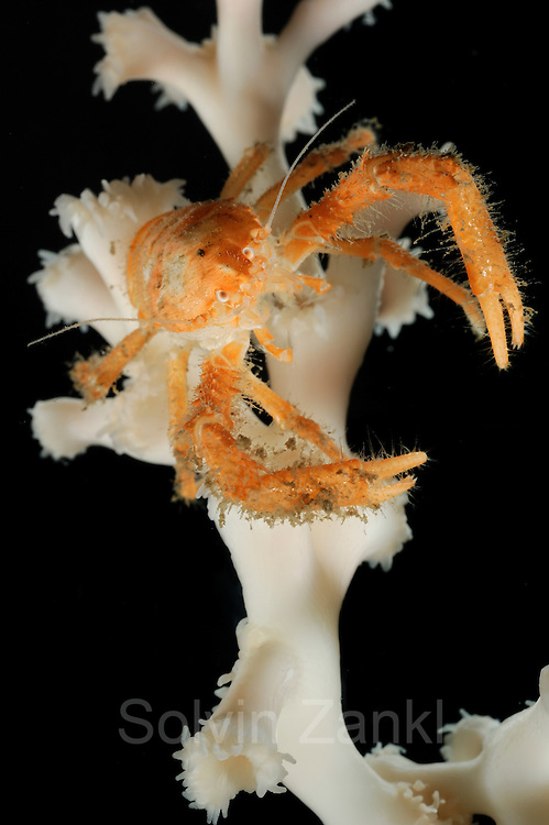Squat Lobster (Munidopsis serricornis) is one of the few species that live anongst living branches of the stone coral (Lophelia pertusa). Trondheimfjord, North Atlantic Ocean, Norway [size of single organism: 9 cm] | Ein Springkrebs der Art Munidopsis serricornis auf einem lebenden Ast der Kaltwasserkoralle Lophelia pertusa.