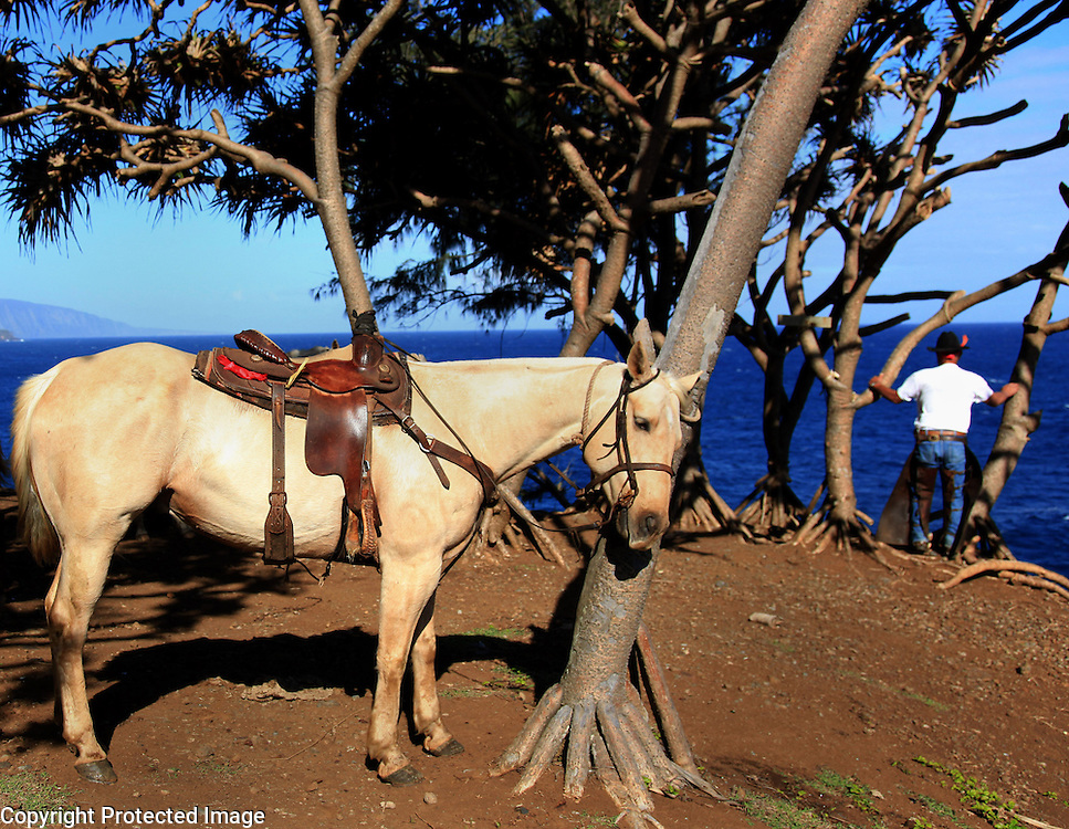 "Sonny Keakealani, one of the most respected cowboys in the community and patriarch of the Keakealani family, takes a break to look at the ocean while moving a group of cattle from one pasture to another in Honakaa, Hawaii.  ""We often see whales spouting and breaching here,"" says Keakealani."