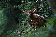 Bongo (Tragelaphus eurycerus)<br /> Mbomo<br /> Odzala - Kokoua National Park<br /> Republic of Congo (Congo - Brazzaville)<br /> AFRICA<br /> IUCN STATUS: near threatened