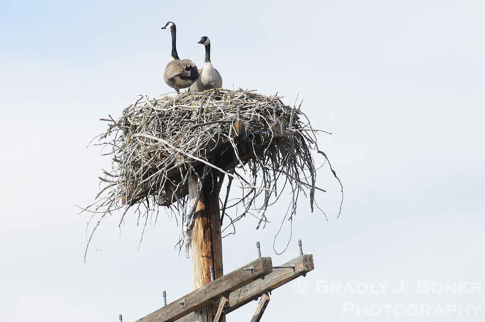 Osprey take on Canada geese in a fight for a platform nest