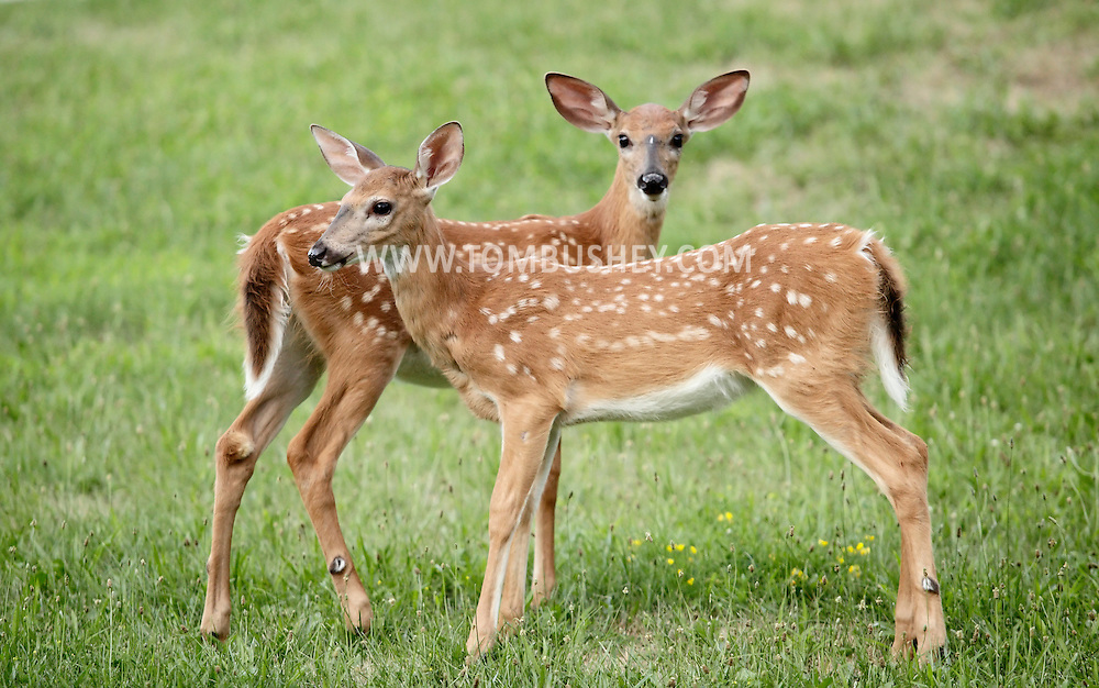 Middletown, New York -  Two white-tailed deer feed in a suburban neighborhood on July 20, 2010.  Deer can become a nuisance in suburban areas because they can damage landscaping, cause vehicle-deer collisions on roads and carry Lyme disease.