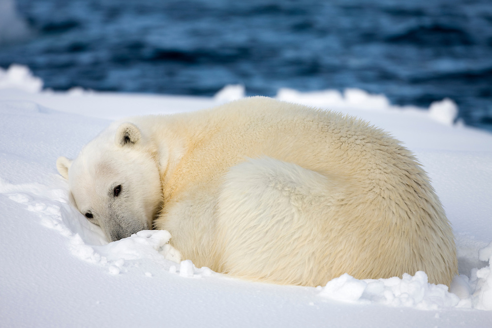 Norway, Svalbard, Spitsbergen Island, Polar Bear (Ursus maritimus) curls up to sleep on snow-covered iceberg along northern coastline