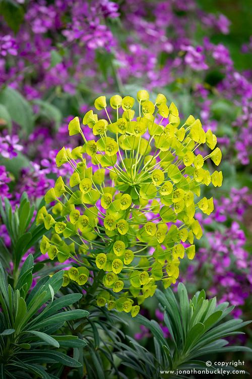 Euphorbia characias subsp. wulfenii 'John Tomlinson' amongst Lunaria annua, honesty.
